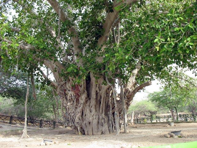انجیر معابد یا درخت سبز در قشم