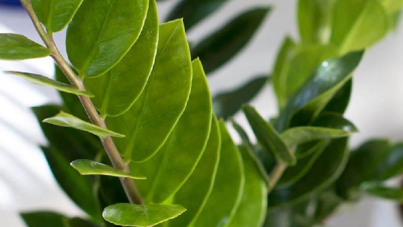 چگونه از گیاه زامیفولیا  نگهداری کنیم
