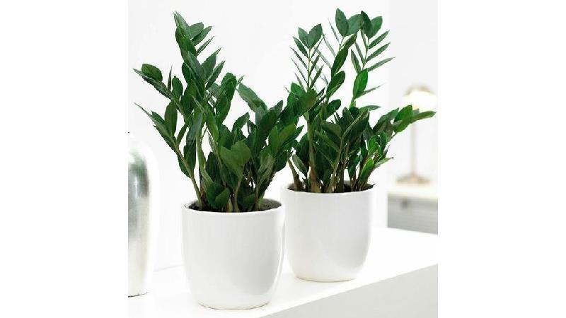 گیاه زامیفولیا به چه مراقبت هایی نیاز دارد