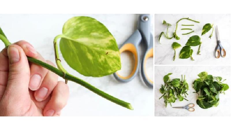 گیاه پتوس را چگونه قلمه بزنیم