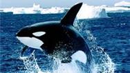 فیلمی از حمله نهنگهای قاتل به ساحل
