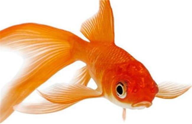 ماهی قرمز به دلیل اینکه باید در آبهای آزاد زندگی کند زود میمیرد از ماهیهای پلاستیکی به جای ماهی قرمز استفاده کنید
