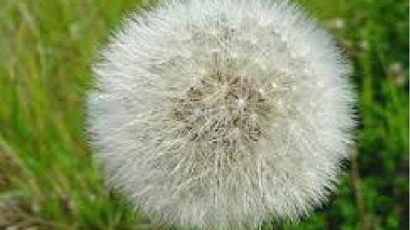 گیاه دندلیون یا قاصدک برای برخی بیماری ها مضر است
