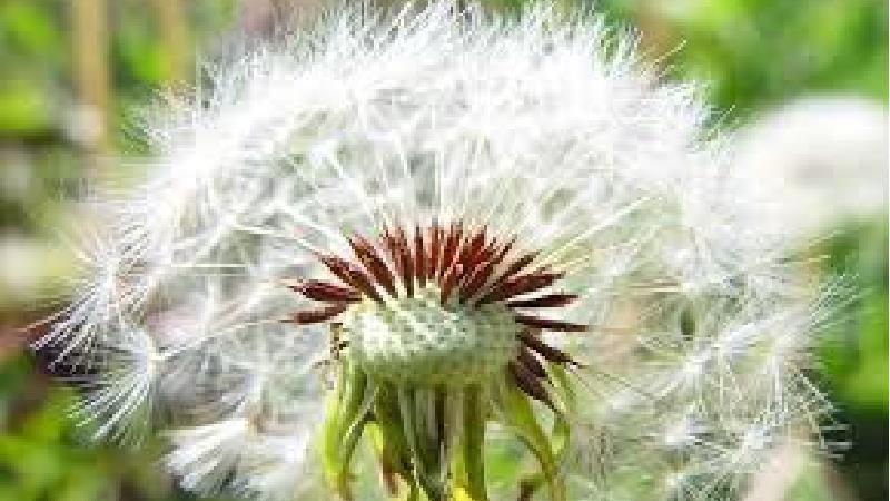 استفاده از گیاه دندلیون برای درمان بیماری کبدی