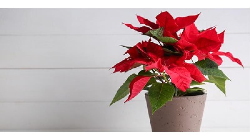 روش تکثیر گل کریسمس یا گیاه بنت القنسول چگونه است