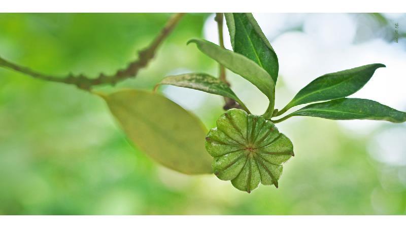 بادیان ختایی از گیاهی همیشه سبز به دست می آید