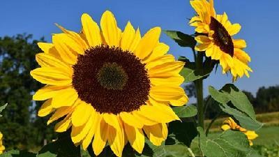 دانه آفتابگردان از منابع امگا-۶ است