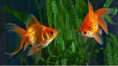 آیا ادعای ابتلای ماهی قرمزها به کرونا صحت دارد