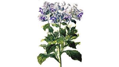 مشخصات گیاه گل گاو زبان
