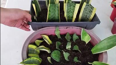 آموزش قلمه زدن گیاهان