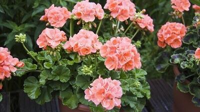 نحوه نگهداری گل شمعدانی در خانه