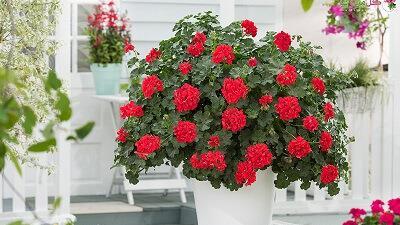 چگونه از گل شمعدانی مراقبت کنیم