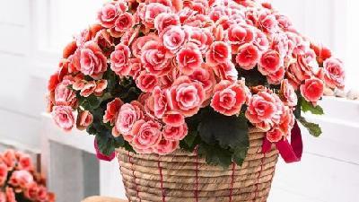 آشنایی با بگونیای همیشه گل دار