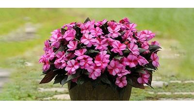 شرایط نگهداری از گل حنا