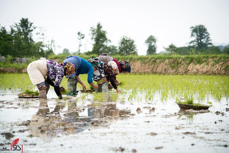 مصوبه جلوگیری از واردات برنج چرا  در۴ ماهه برداشت لغو شد
