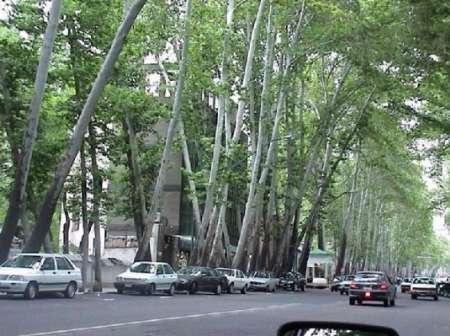 ۹۰۰ اصله درخت خیابان ولیعصر چرا خشک شد؟