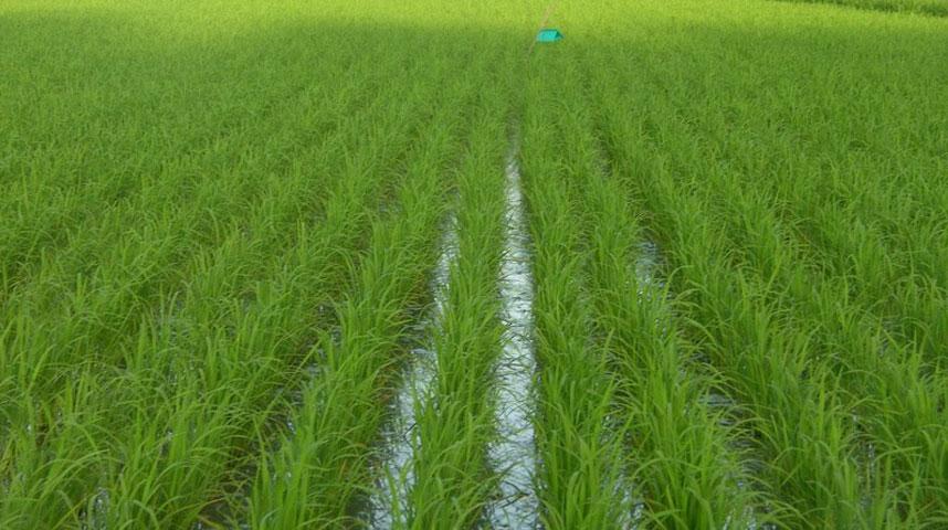 کشت برنج با تامین آب از عمق 400متری ضرورت ندارد