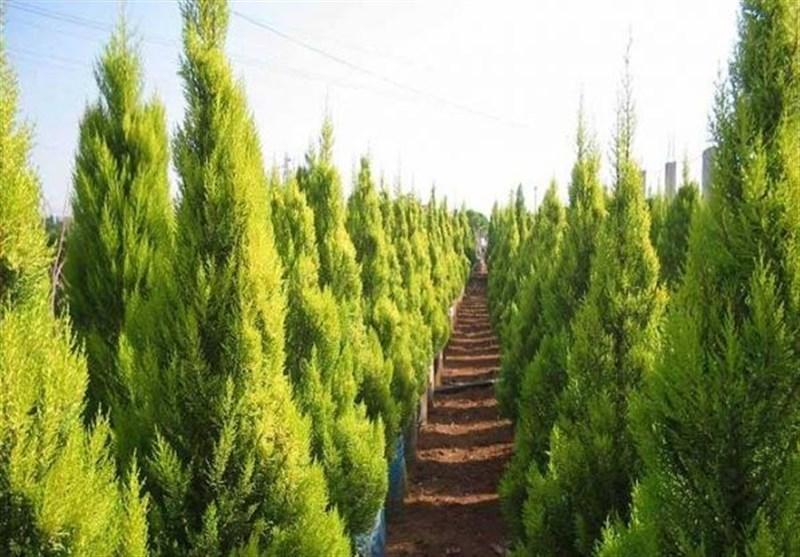 درختان کاج؛ یکی از بزرگترین آلایندههای هوا