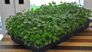 روش کاشت سبزیجات در آپارتمان