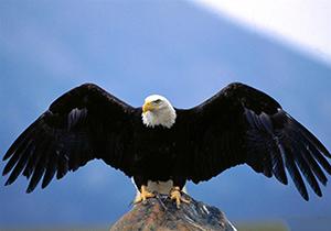 فیلمی از شکار گرگ توسط عقاب