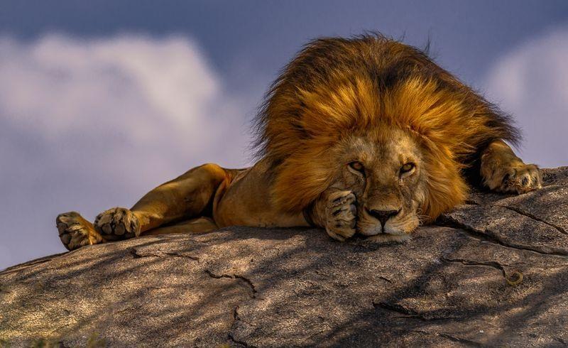 عکسهای دیدنی از دنیای شیرها
