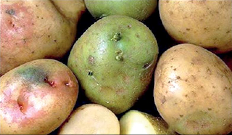 ماجرای سیب زمینیهای سمی