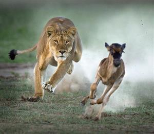 زیباترین عکسها از حیاتوحش آفریقا