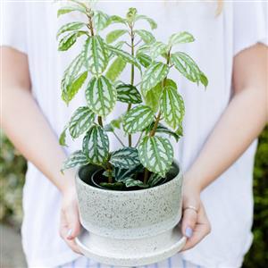 روش نگهداری گیاه پیلهآ در آپارتمان