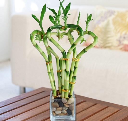 راهنمای کامل نگهداری از گیاه بامبو در خانه