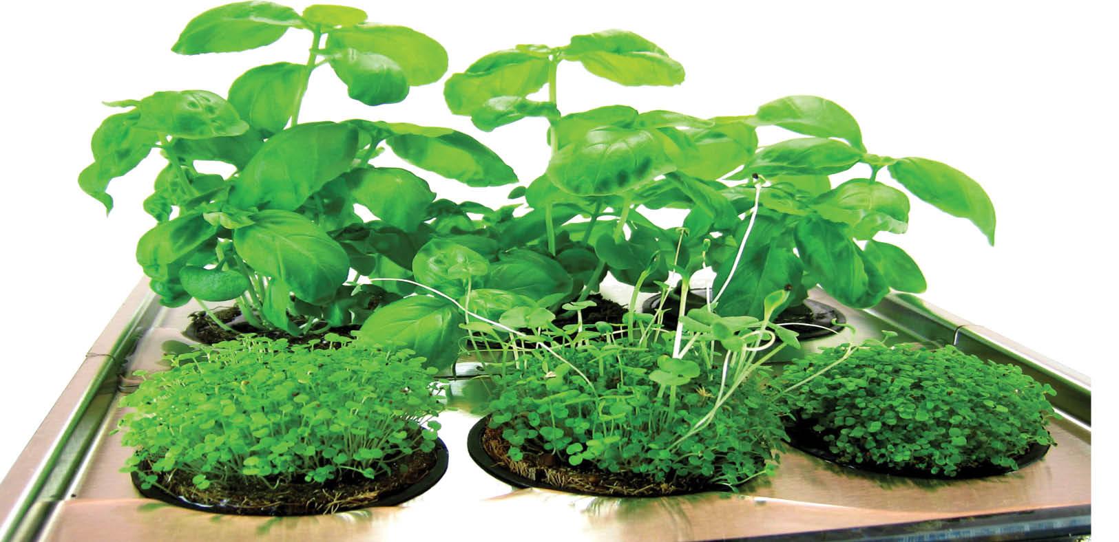 یک پیشنهاد نوروزی؛ به جای سبزه هفت سین عید سبزی بکارید + آموزش کاشت سبزی