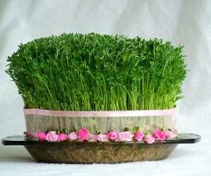 طرز تهیه سبزه عدس برای هفت سین عید