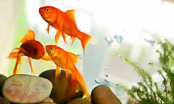 آیا ماهی قرمز سفره هفت سین عید باعث مریضی میشود؟
