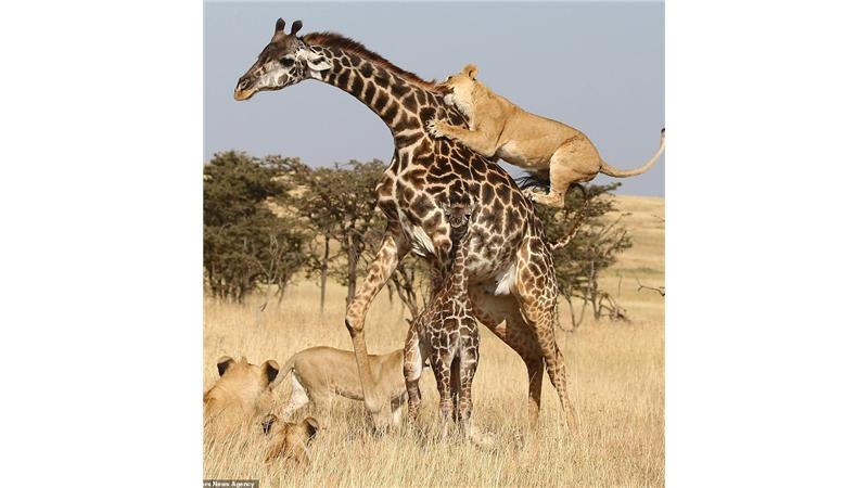 عکسهای دیدنی از تلاش زرافه مادر برای نجات فرزندش از چنگ شیرها