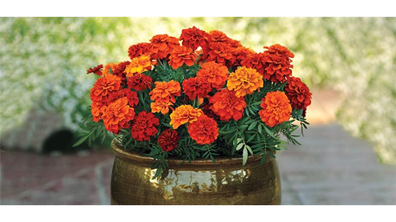 معرفی بهترین گلهای تابستانی برای نگهداری در خانه