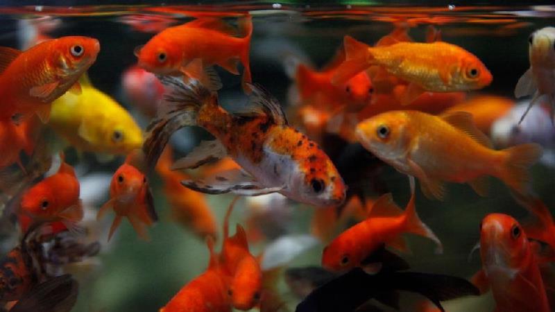 آیا ماهی قرمزهای شب عید کرونایی هستند
