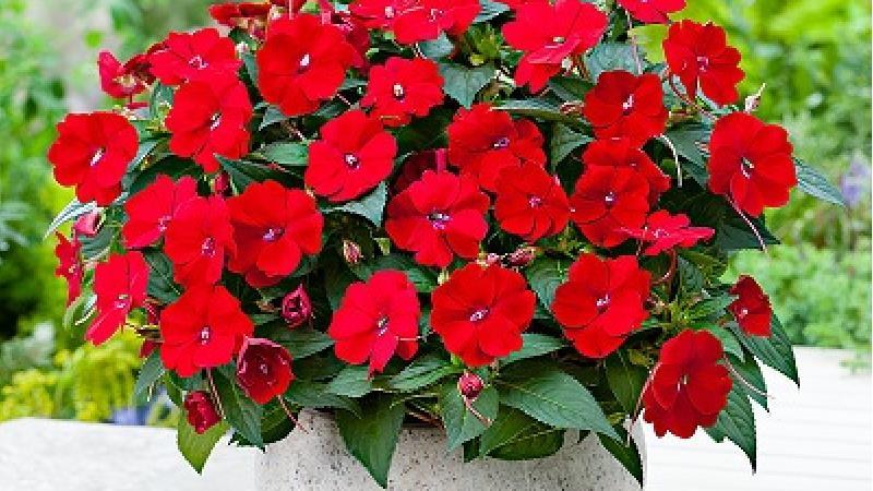 چگونه از گل حنا در آپارتمان نگهداری کنیم