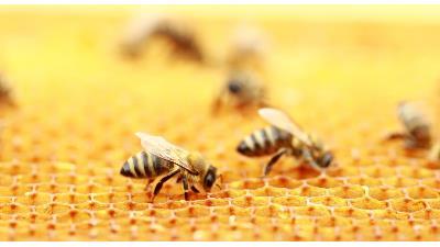 آیا زنبور عسل کرونا را درمان میکند