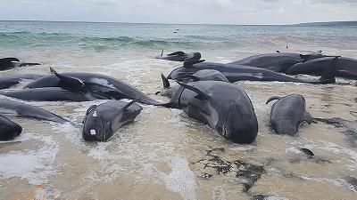 فیلمی از خودکشی صدها نهنگ در استرالیا