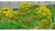 کاربردها و خاصیتهای گیاه آنغوزه چیست