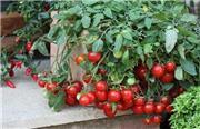 چگونه در آپارتمان  گوجه فرنگی بکاریم