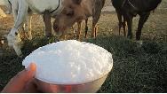 شیر شتر چه خاصیتهایی دارد