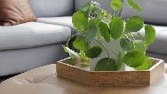چگونه از گیاه پول چینی در آپارتمان مراقبت کنیم