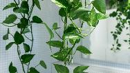 چگونه از گیاه پتوس نگهداری کنیم
