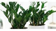 روش مراقبت، نگهداری و تکثیر گیاه زامیفولیا