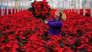 روش نگهداری و تکثیر گل کریسمس یا گیاه بنت القنسول