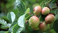 میوه درخت کنار چه خاصیتی دارد؛ از لاغری تا درمان یبوست