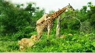 فیلمی دیدنی از حیات وحش؛ شکست شیرها در شکار زرافه