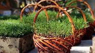 چرا سر سفره هفت سین عید سبزه می گذاریم