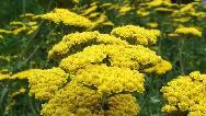 گیاه بومادران برای چی خوب است؛ از معده تا  فشار خون